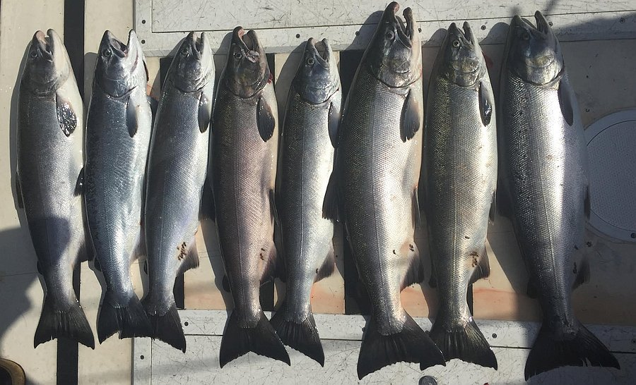 Ketchikan = Salmon Capital of the World!